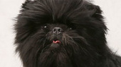Westminster Dog Show Winner Banana Joe to Make Broadway Debut in Edwin Drood